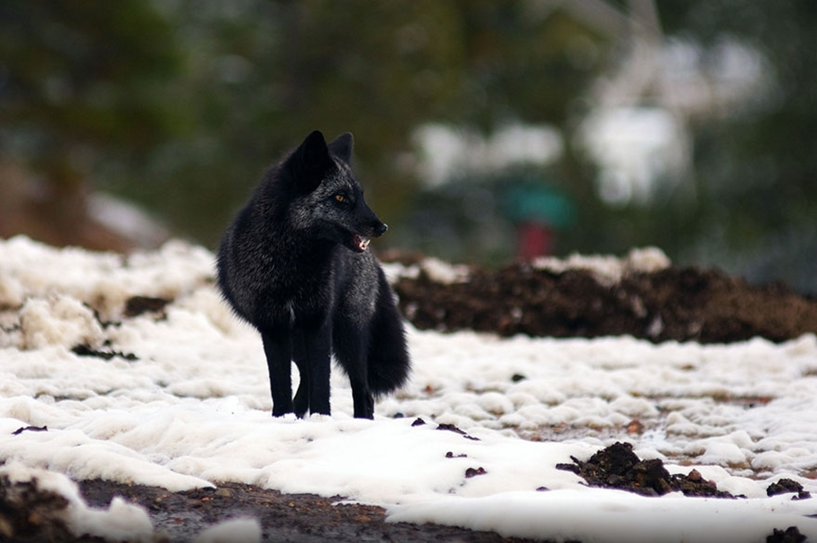 The rare beauty of the black Fox 28