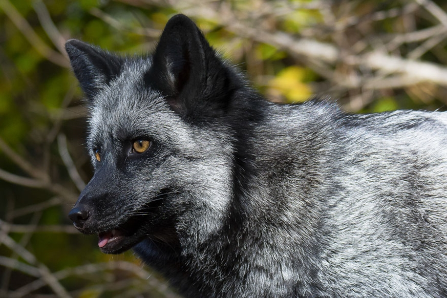 The rare beauty of the black Fox 30