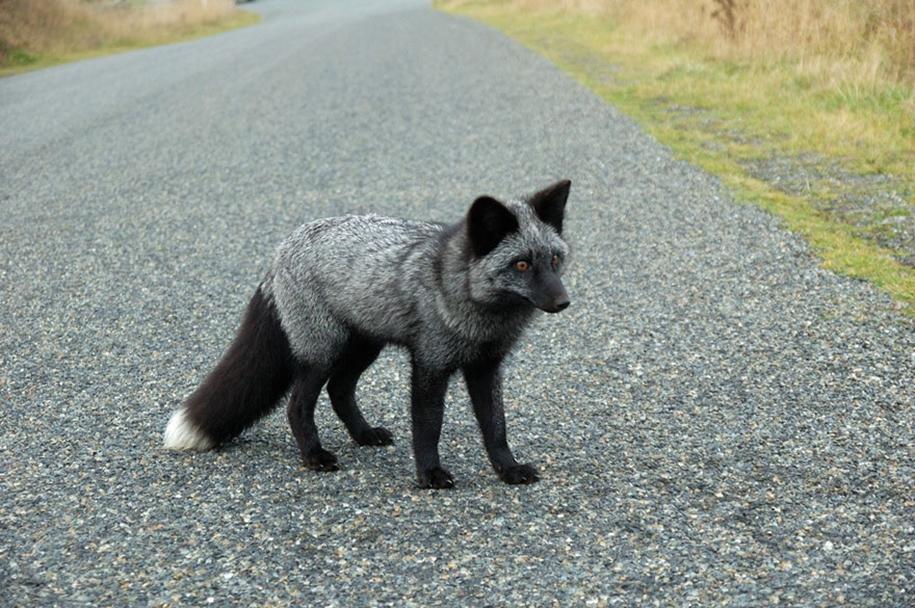 The rare beauty of the black Fox 31