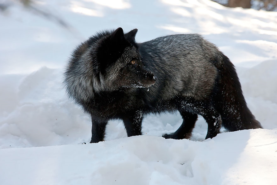 The rare beauty of the black Fox 32