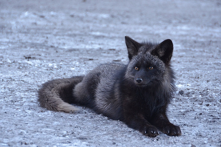 The rare beauty of the black Fox 33