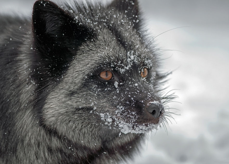 The rare beauty of the black Fox 34