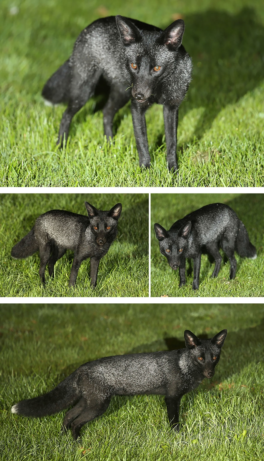The rare beauty of the black Fox 35