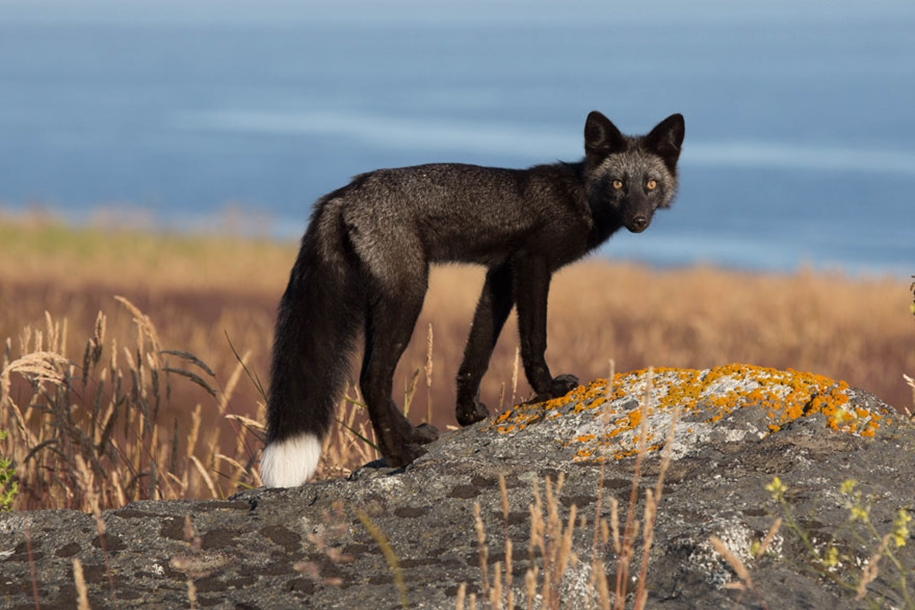 The rare beauty of the black Fox 36