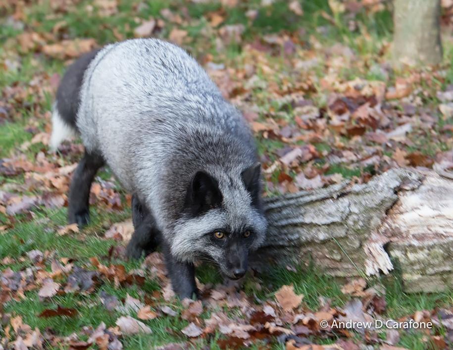The rare beauty of the black Fox 37