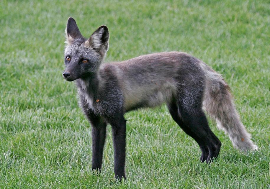 The rare beauty of the black Fox 38