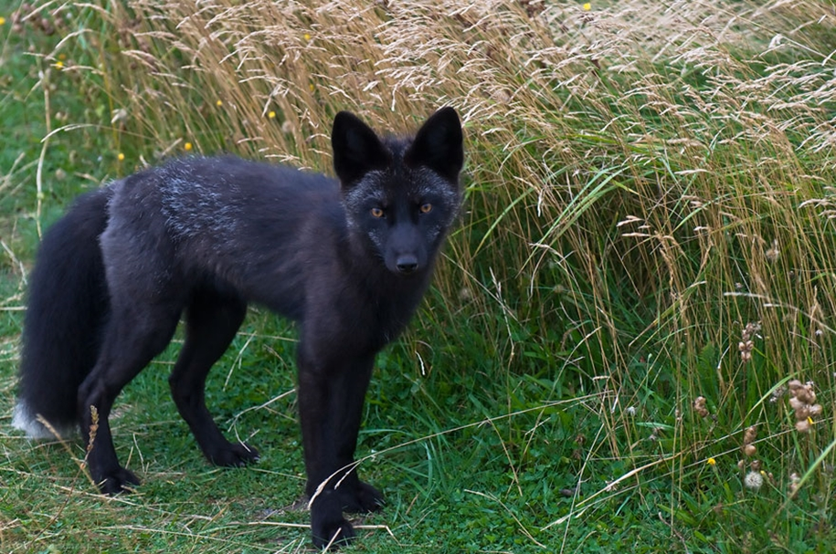 The rare beauty of the black Fox 39