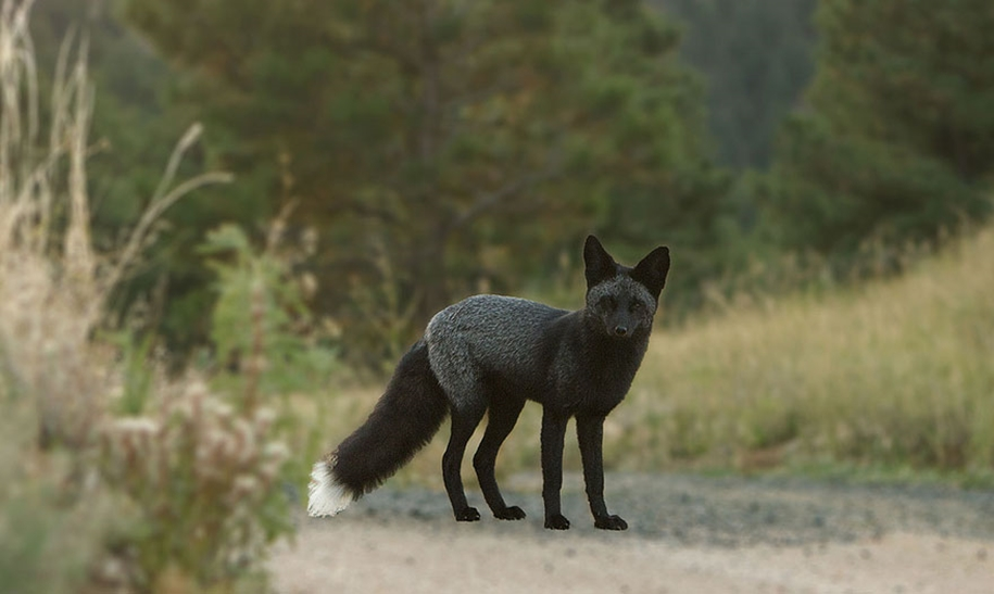 The rare beauty of the black Fox 40