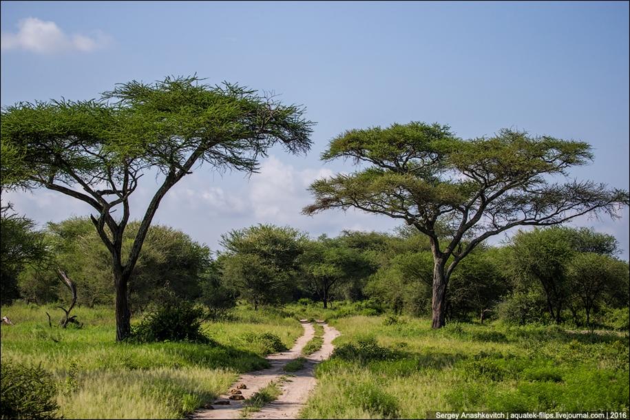 Царство слонов. Национальный парк Тарангире 04