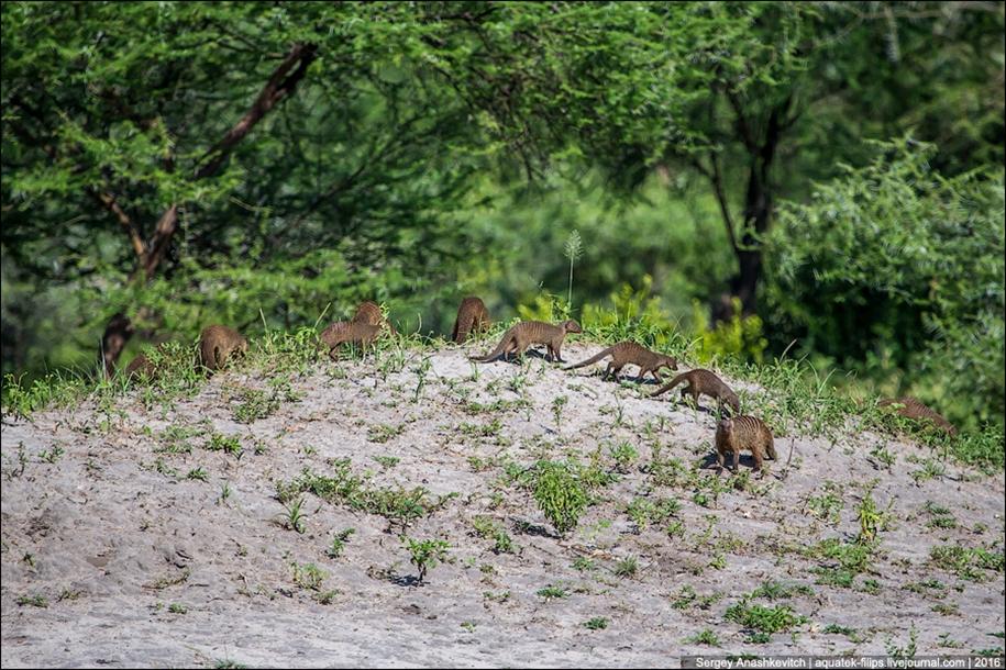 Царство слонов. Национальный парк Тарангире 05