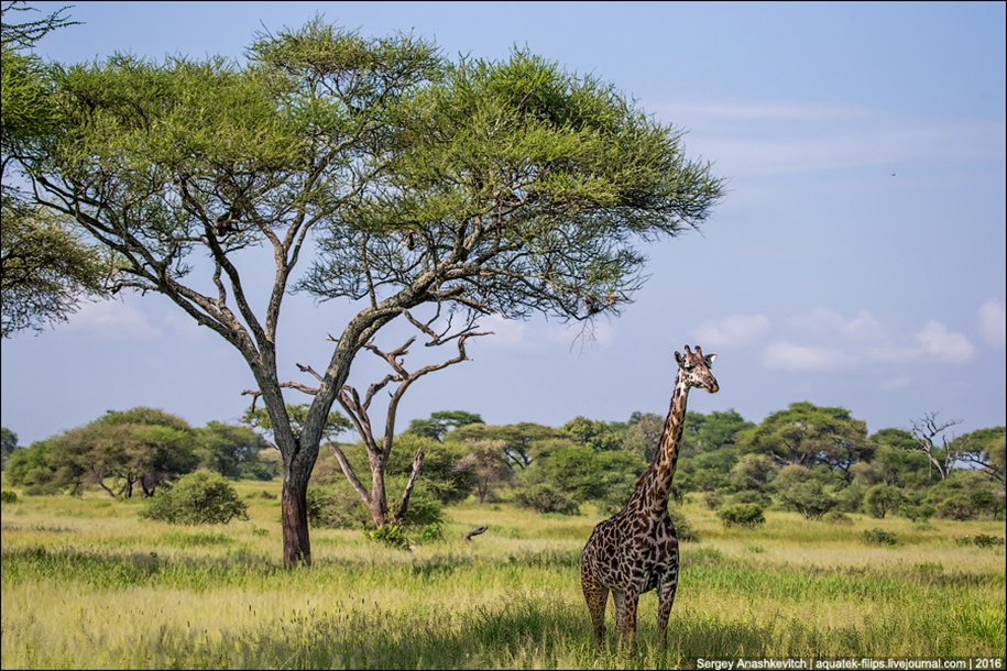 Царство слонов. Национальный парк Тарангире 09