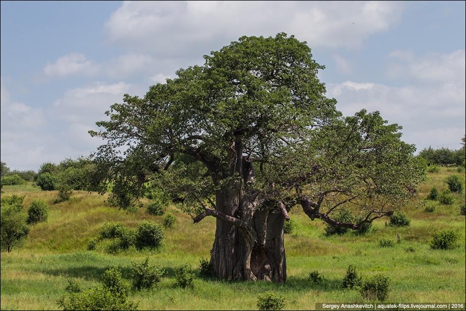 Царство слонов. Национальный парк Тарангире 11