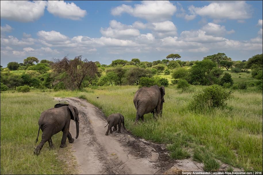 Царство слонов. Национальный парк Тарангире 12