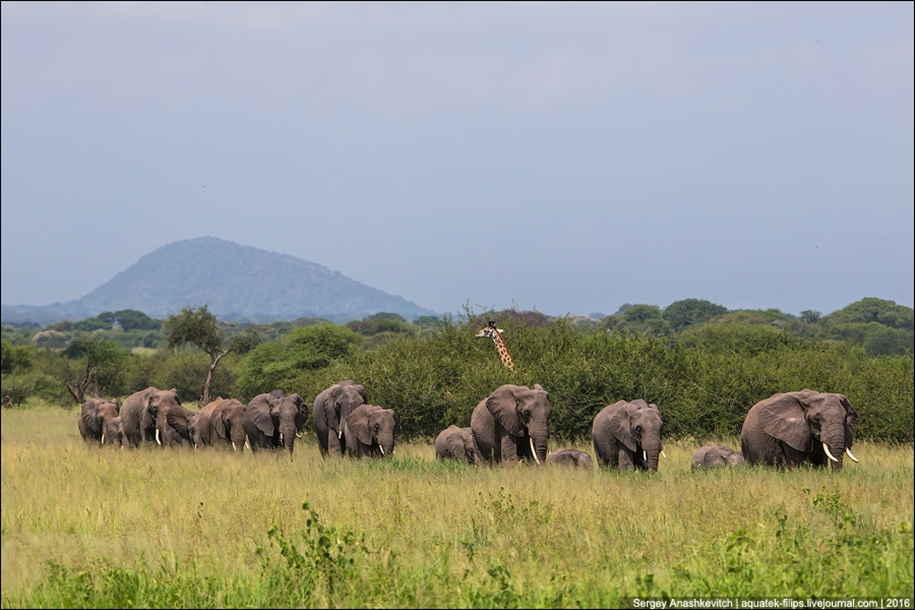 Царство слонов. Национальный парк Тарангире 14