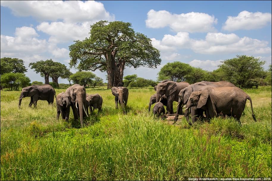Царство слонов. Национальный парк Тарангире 15
