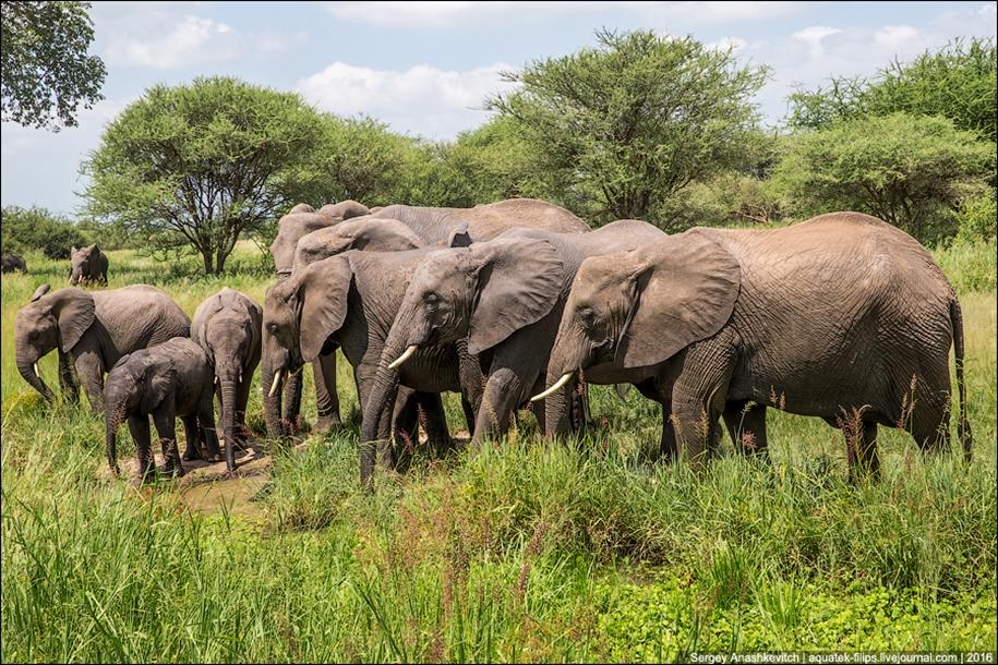 Царство слонов. Национальный парк Тарангире 16