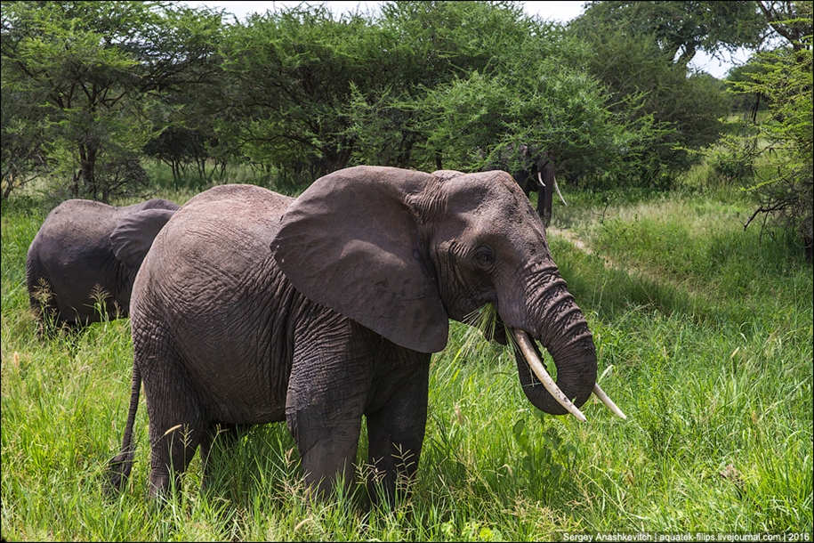 Царство слонов. Национальный парк Тарангире 17