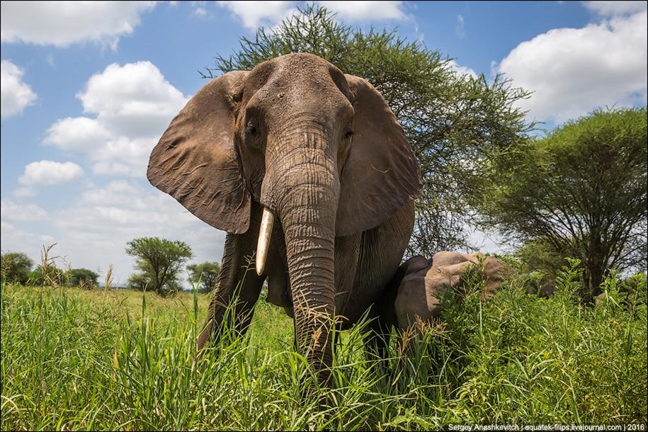 Царство слонов. Национальный парк Тарангире 18