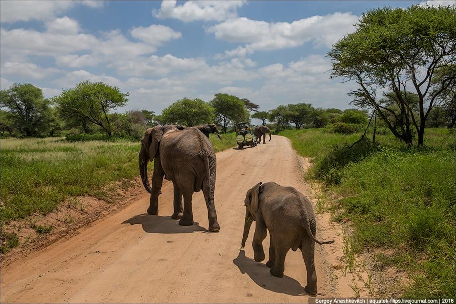 Царство слонов. Национальный парк Тарангире 19