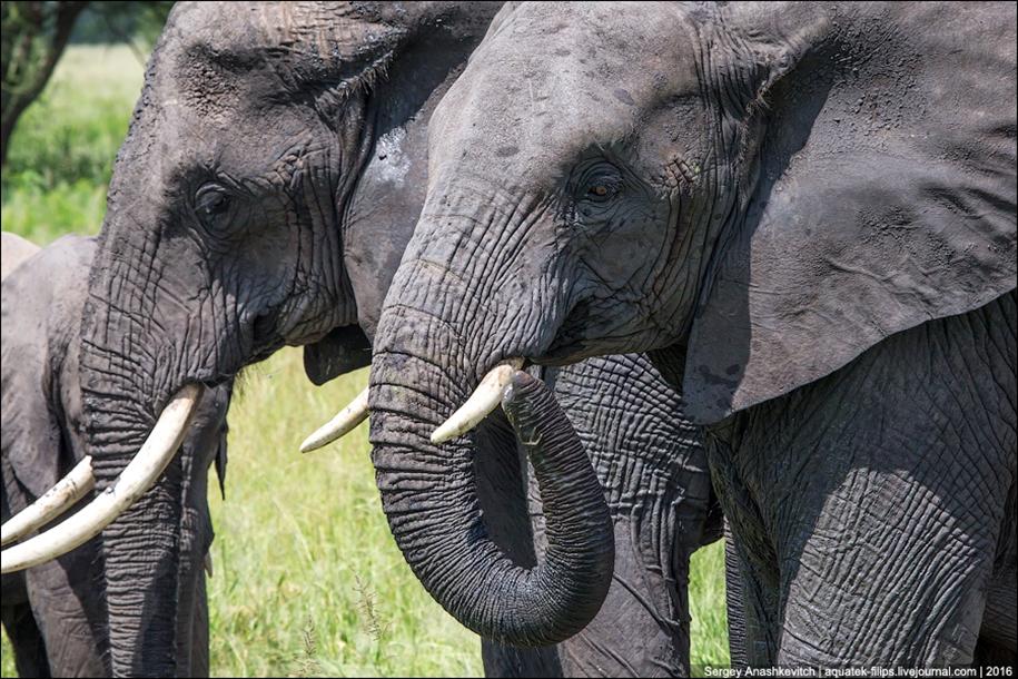 Царство слонов. Национальный парк Тарангире 20