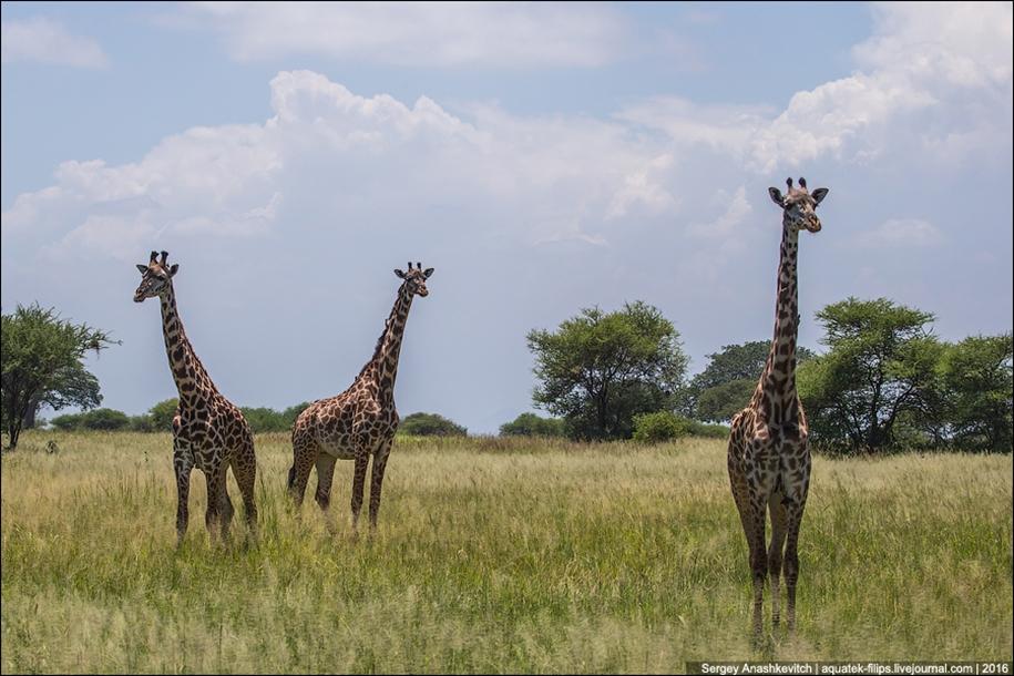 Царство слонов. Национальный парк Тарангире 22
