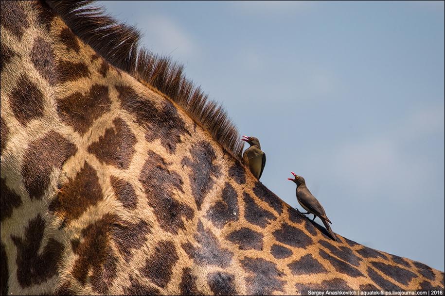 Царство слонов. Национальный парк Тарангире 23