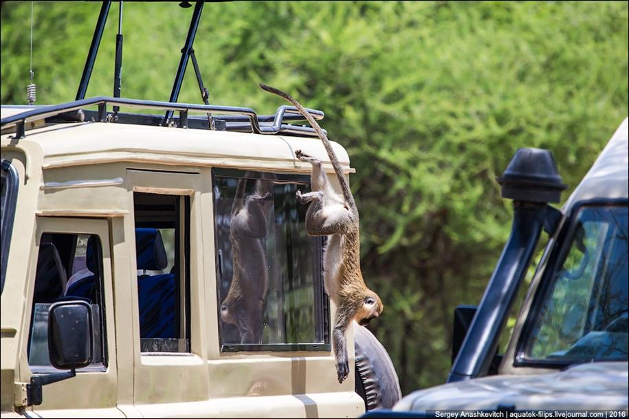 Царство слонов. Национальный парк Тарангире 25