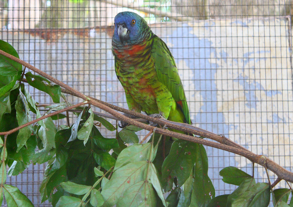 10 species of the largest parrots 03