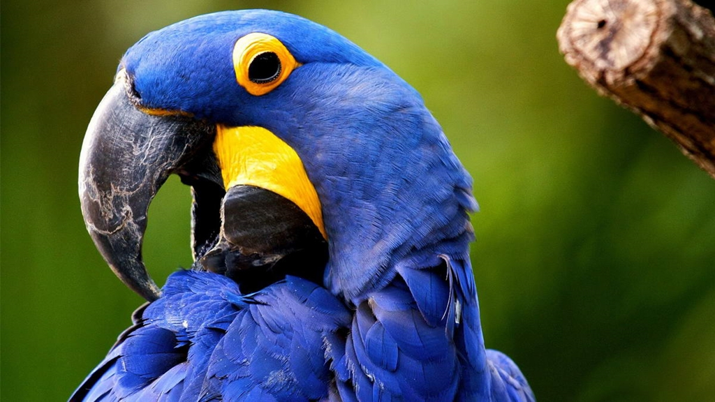 10 species of the largest parrots 10