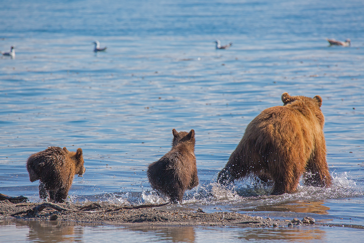 Bears of Kuril lake 01