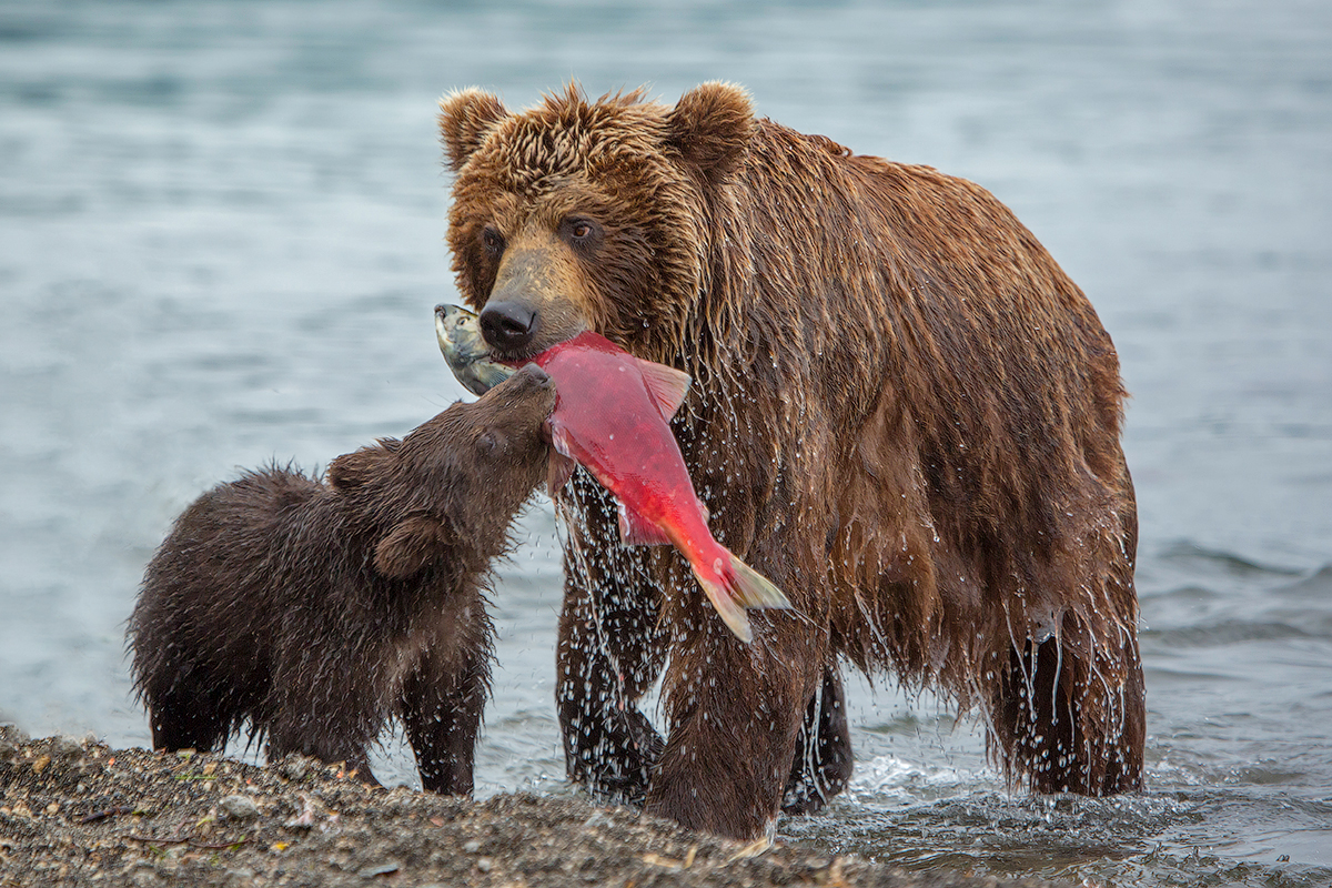 Bears of Kuril lake 03