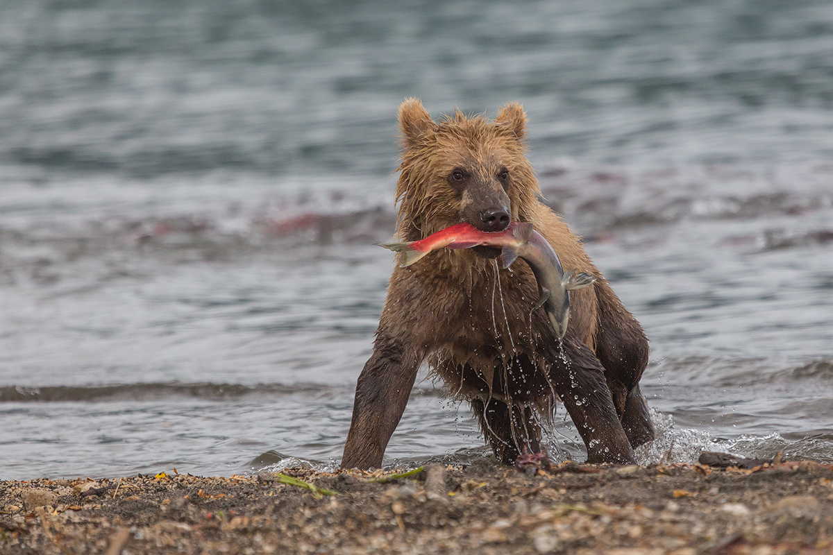 Bears of Kuril lake 07
