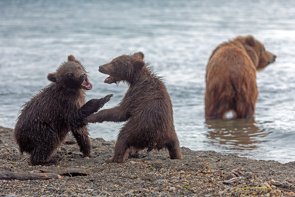 Bears of Kuril lake 08