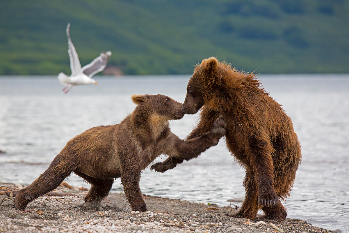 Bears of Kuril lake 09