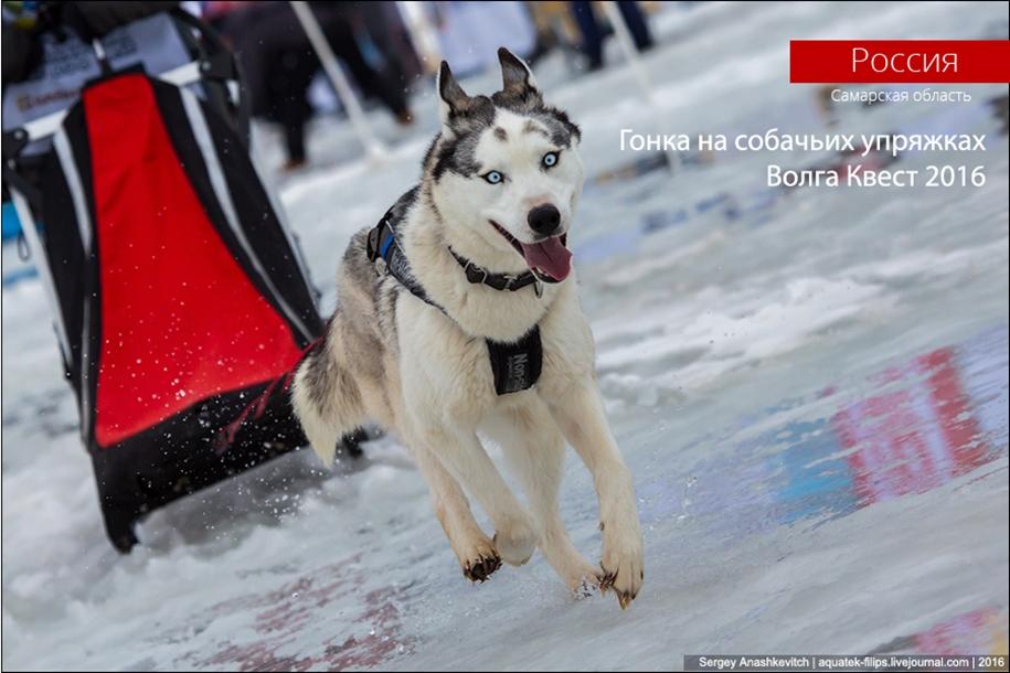 Children and husky. Dog racing on wet ice 01