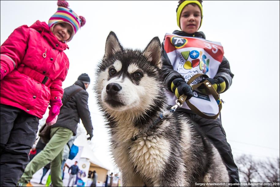 Children and husky. Dog racing on wet ice 02