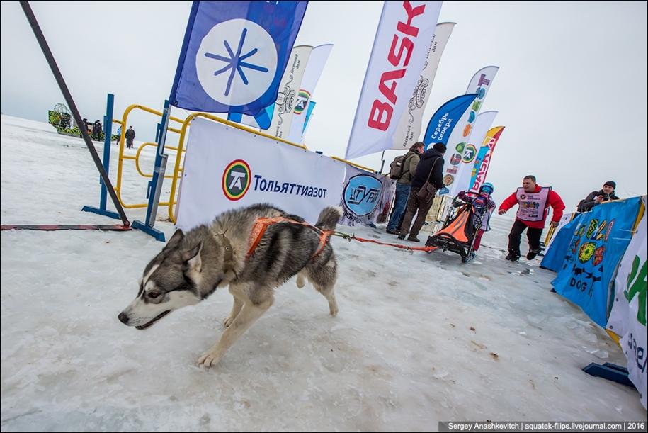 Children and husky. Dog racing on wet ice 06