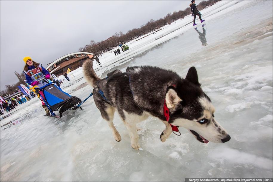 Children and husky. Dog racing on wet ice 08