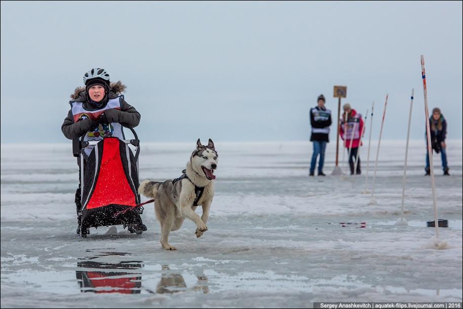 Children and husky. Dog racing on wet ice 09