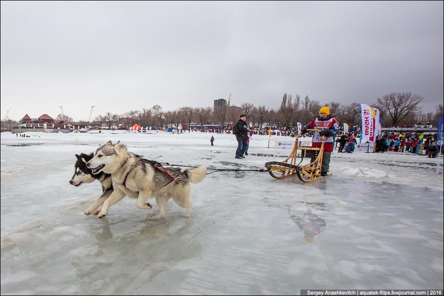 Children and husky. Dog racing on wet ice 10