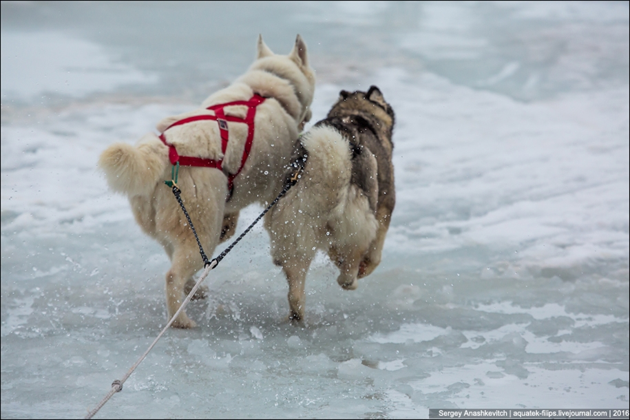 Children and husky. Dog racing on wet ice 11