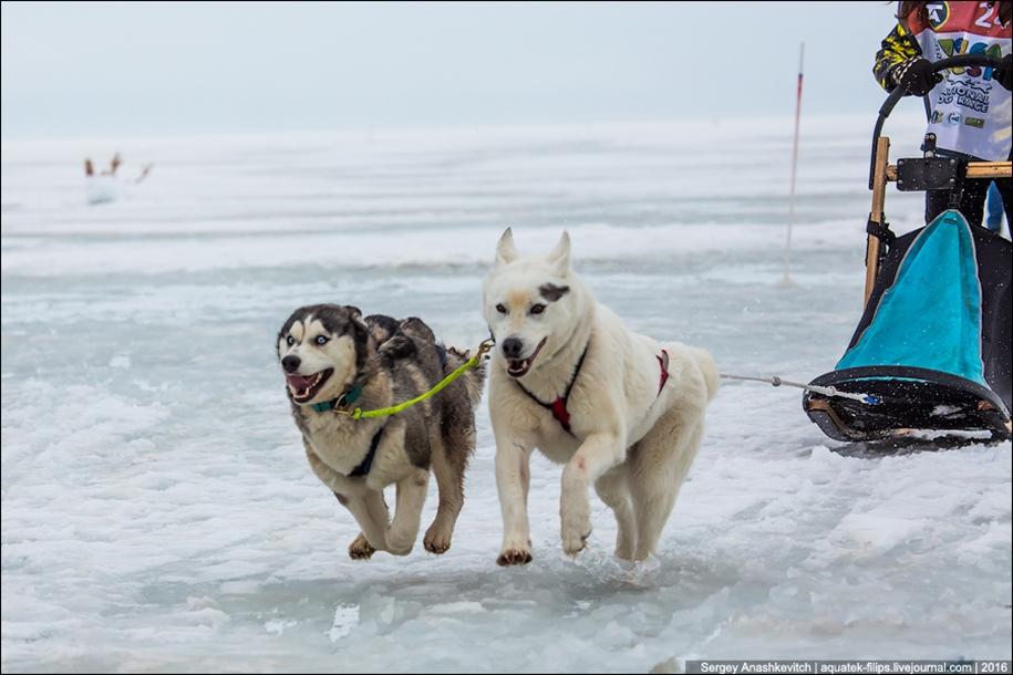Children and husky. Dog racing on wet ice 12