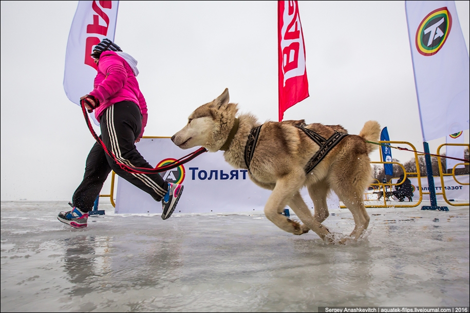 Children and husky. Dog racing on wet ice 14
