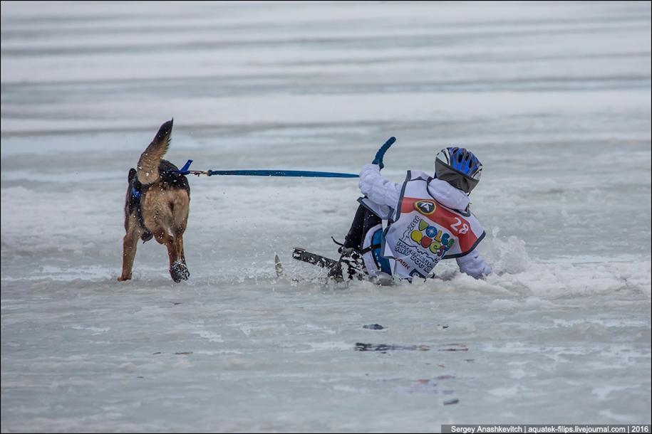 Children and husky. Dog racing on wet ice 18