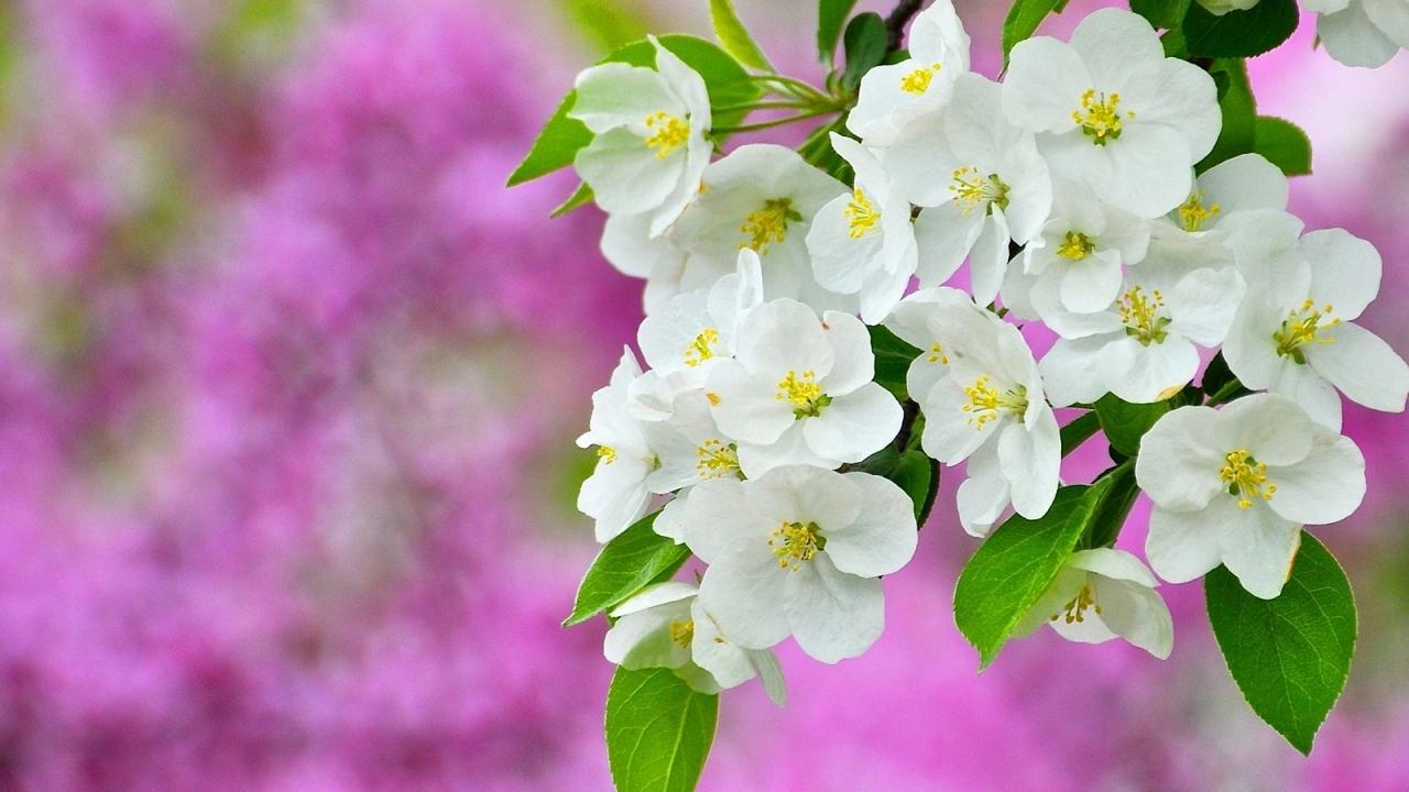Цветут весенние цветы
