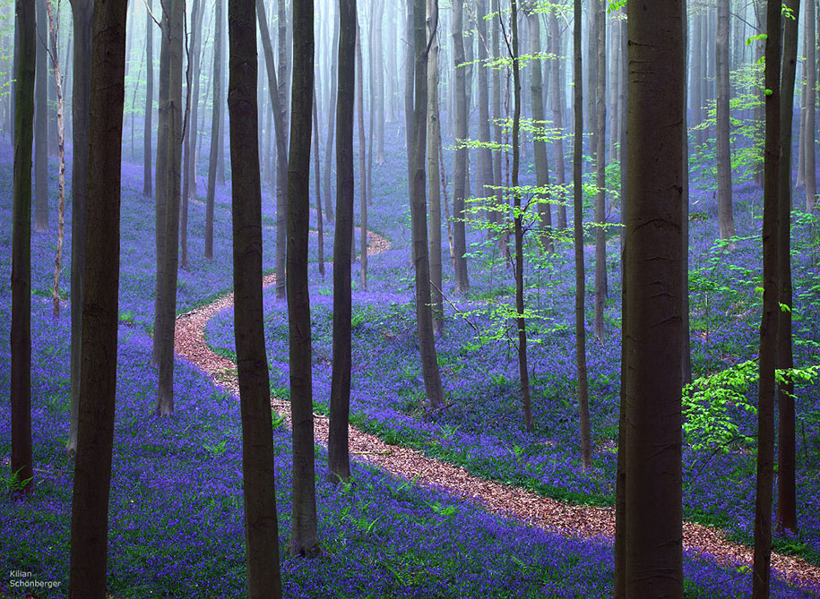 Every spring this forest in Belgium becomes a blue Wonderland 01