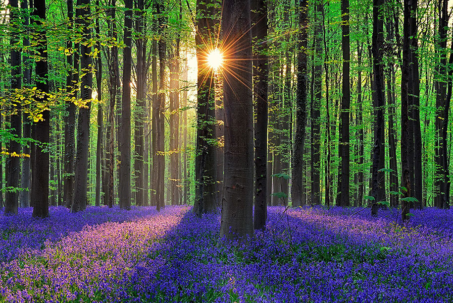 Every spring this forest in Belgium becomes a blue Wonderland 02