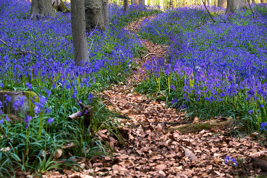 Every spring this forest in Belgium becomes a blue Wonderland 03
