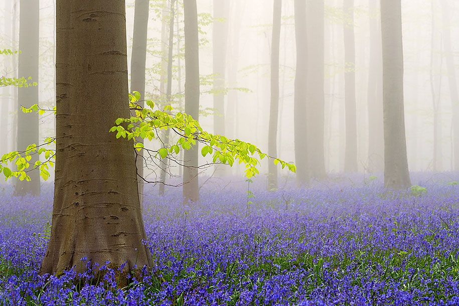 Every spring this forest in Belgium becomes a blue Wonderland 04