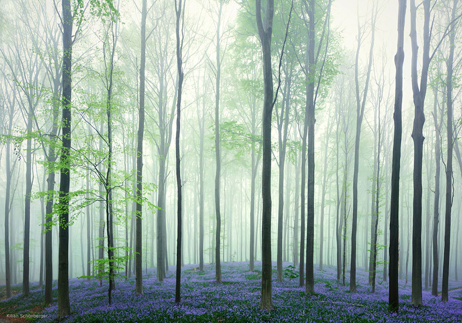 Every spring this forest in Belgium becomes a blue Wonderland 05